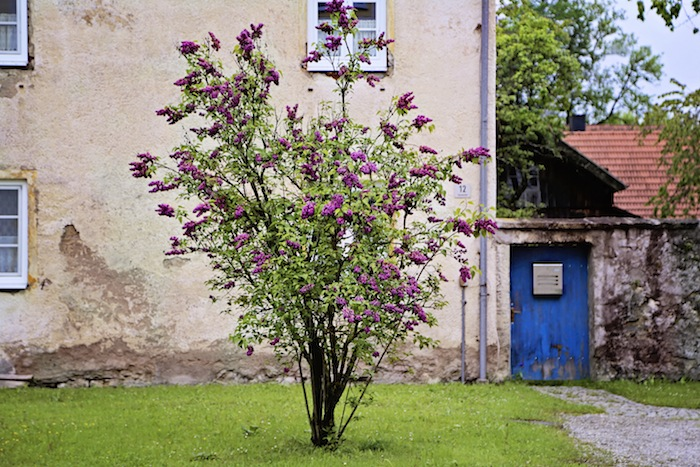 "<alt img=""Lilac""/>"