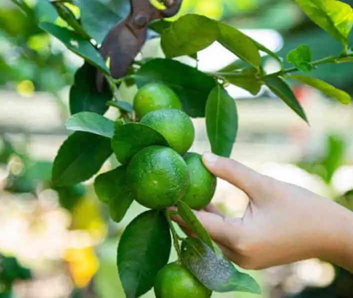 tips for growing citrus trees in pots