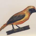 Chorister Robin - Kelly Goss Art