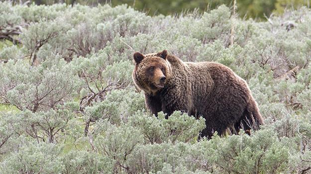 national-park-service-yellowstone-grizzly-bear_207341540621