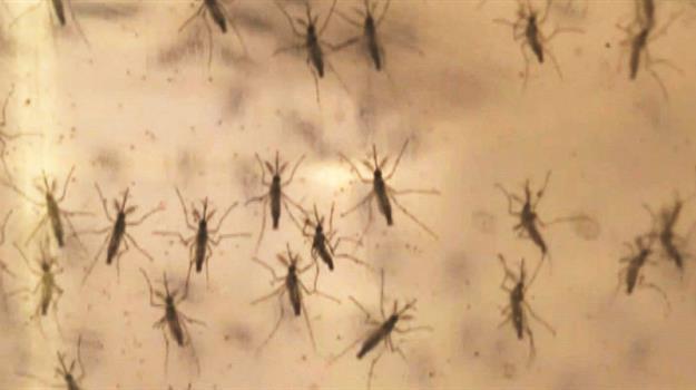 mosquito_926592520621