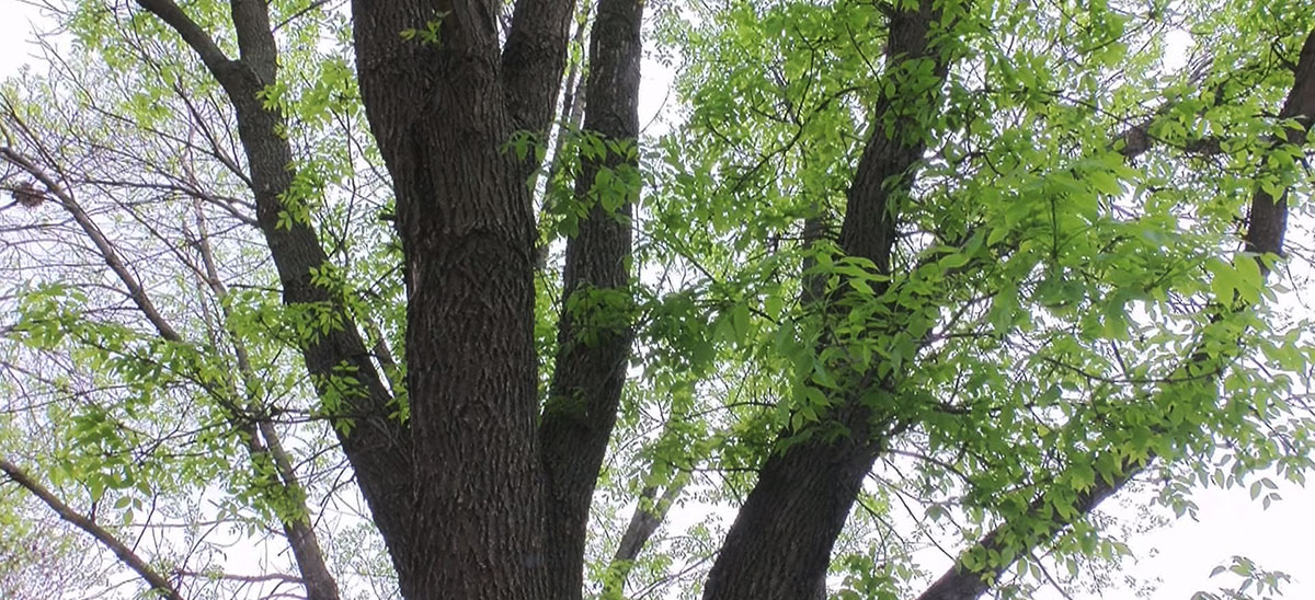 ash tree emerald ash borer threat