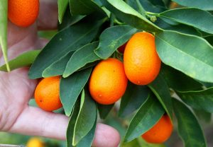 kumquats_on_tree.jpg