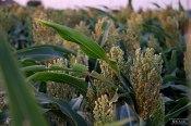 milo-grain-crop-kansas