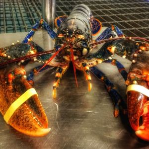Scottish live Lobster
