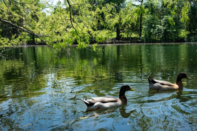 Ducks swimming in Cibolo Creek in Boerne