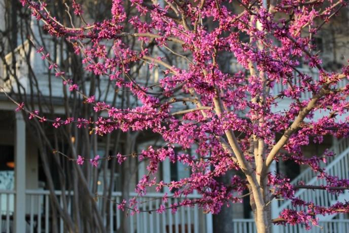 Flowering tree in front of Ye Kendall Inn in Boerne