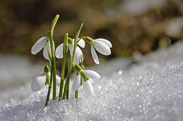 Epifania quali fiori regalare - bucaneve