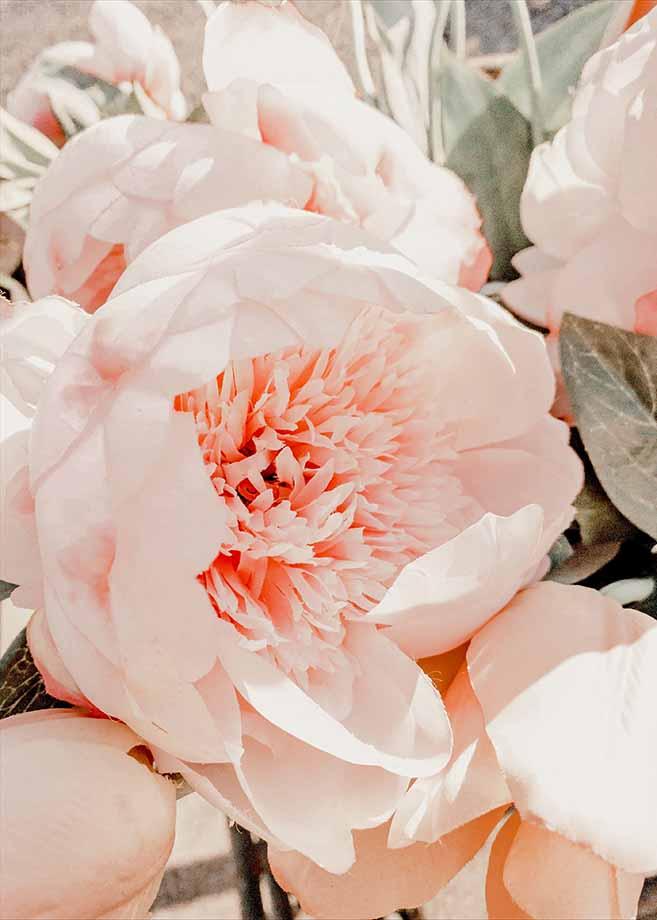 peonia fiore-festa-della-mamma
