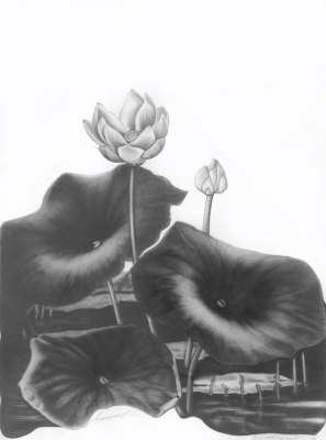 graphite pencil drawing of an american lotus flower