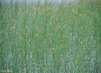 Lake reeds 1