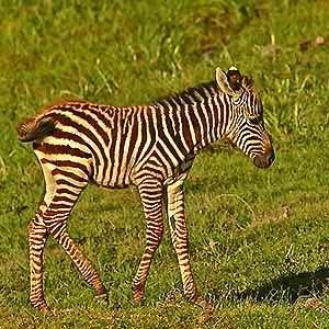 Zebra- Kenia safari Kenia reisefuehrer für mit reisetipp für familien reisen.