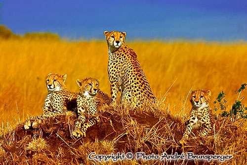 Masaï Mara Geparden - Kenia Komfort safari und Flitterwochen 13 tage ab Nairobi
