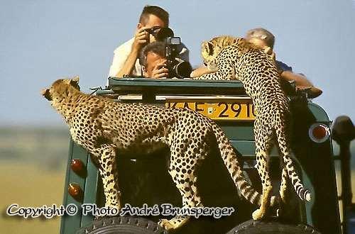 Geparden Masaï Mara - Kenia safari kleines kenia 9 tage