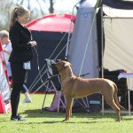 Farah winning her Danish CAC in Stepping May 2016 (1 year and 5 months old)