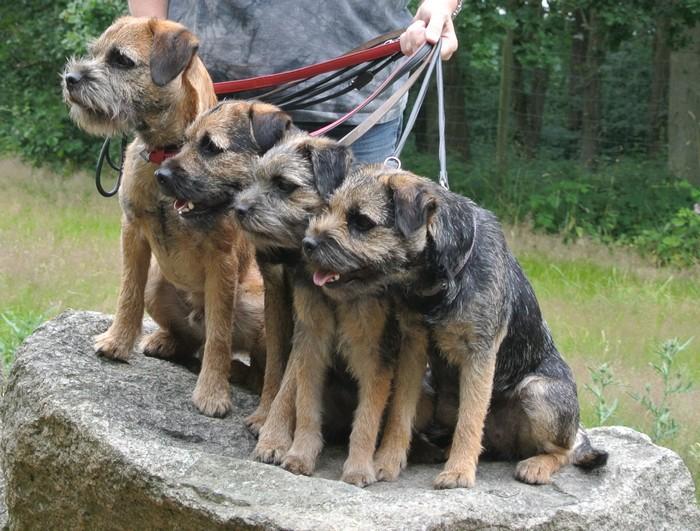 Kennel Hjelme Border terriers