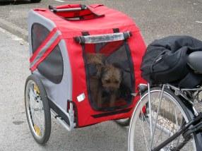 Kennel Hjelmes Border Terrier i cykeltrailer
