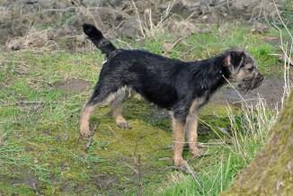 kennel Hjelme Border Terrier på tur