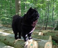 Kennel Hjelme Chow Chow i skoven Chow Chow Piuk Chow Possesses Black Passion