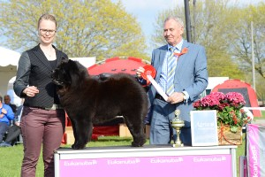 Kennel Hjelmes chow chow Bedst i gruppen i Roskilde 2013. Piuk Chow Possesses Black Passion