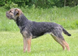 Kennel Hjelme Border Terrier Hjelme Once Upon A Time