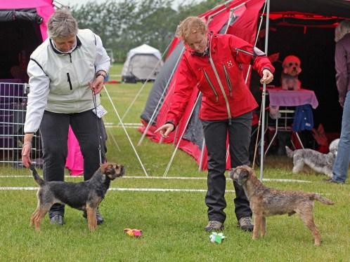Kennel Hjelme Border Terrier Hjelme Lagavulin BIR Stepping 2014
