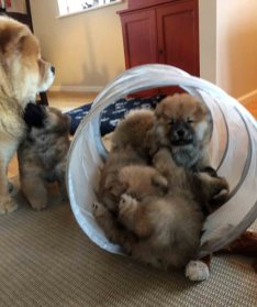 Chow Chow hvalpe kennel Hjelme leger
