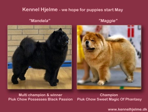 Kennel Hjelme Chow Chow Piuk Chow Possesses Black passion og Piuk Chow Sweet Magic Of Phantasy