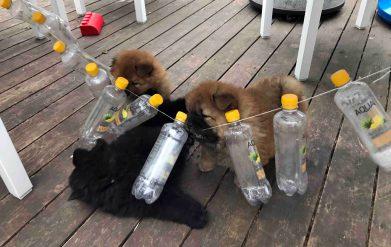Chow Chow hvalp kennel Hjelme leg med flasker
