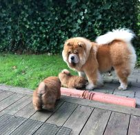 Chow Chow hvalp kennel Hjelme udenfor