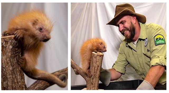 Baby Porcupine Born at Disney's Animal Kingdom!