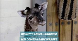 Disney's Animal Kingdom Welcomes New Baby Giraffe