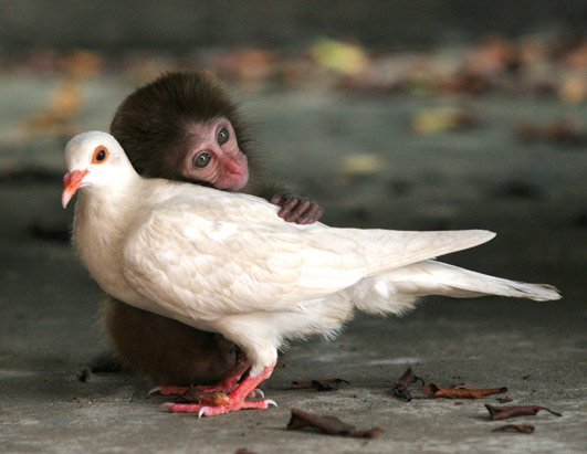 Baby monkey hugging white pigeon
