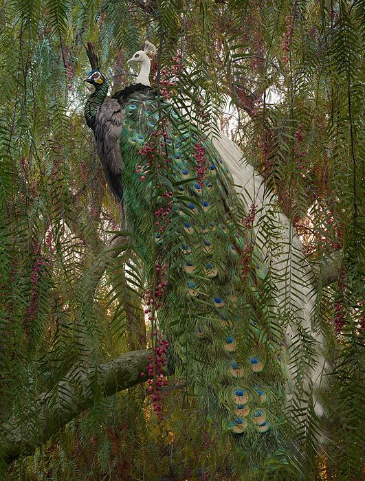 large-simen_johan-untitled-178-peacock