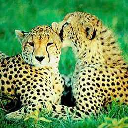 2 Guépards se lèchent kenya safari voyage