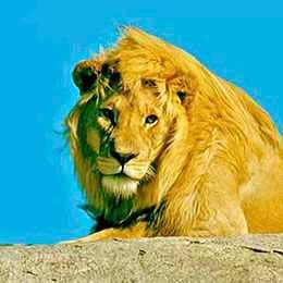 Lion kenya safari voyage