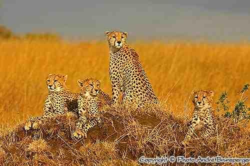 Famille de Guépard sur une termitière - Réserve de Masaï Mara au Kenya