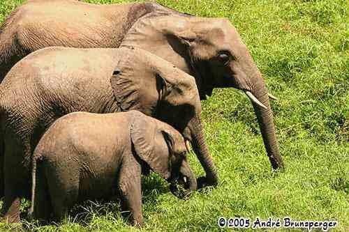 Eléphants Mwalunganje - Réserve de Shimba Hills Kenya