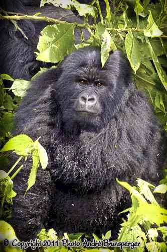 Gorilles safari Kenya plus extension Gorilles Rwanda Ouganda