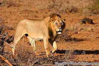 Lion Parc Tsavo Kenya