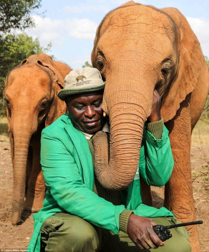 One of the elephants from the David Sheldrick Wildlife Trust (DSWT) Nursery in Nairobi National Park with her keeper, Edwin.