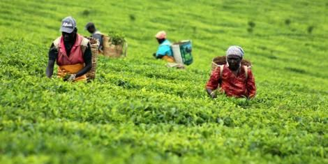 Workers pick tea at a farm in Kericho.