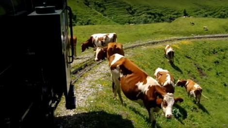 Cows graze near a railway line