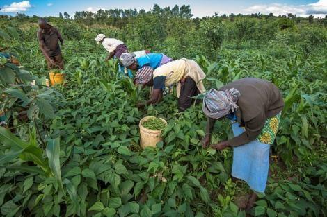 Kenyan farmers harvesting their crops