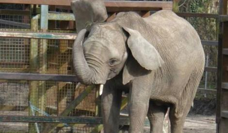 An elephant inside a zoo in Kent, UK managed by the Aspinall Foundation.