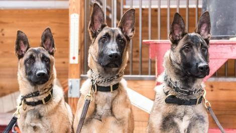 Three dogs trained by Slavinn Working Dogs in Montana Texas