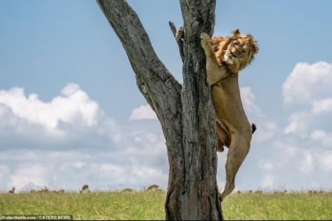Photo of a lion climbing up a tree taken on Jan 17, 2021, by Norwegian photographer Olav Thockle at Masai Mara Game Reserve, Kenya.