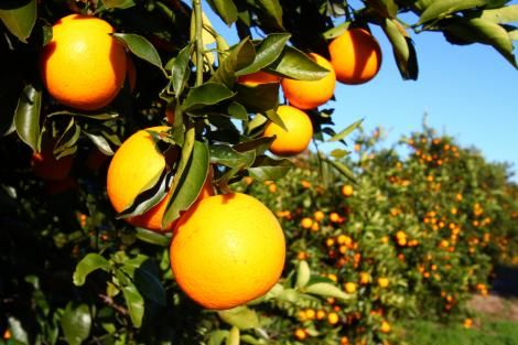 Freshly produced pixie fruits.