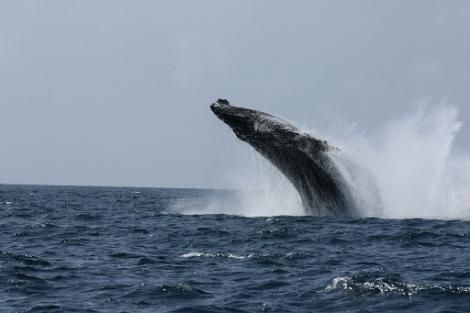 A humpback whale, part of the rorqual family of whales, pictured close to the Watamu shore line in Kilifi County.