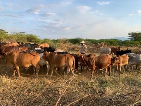 An image of Ruto and his cattle